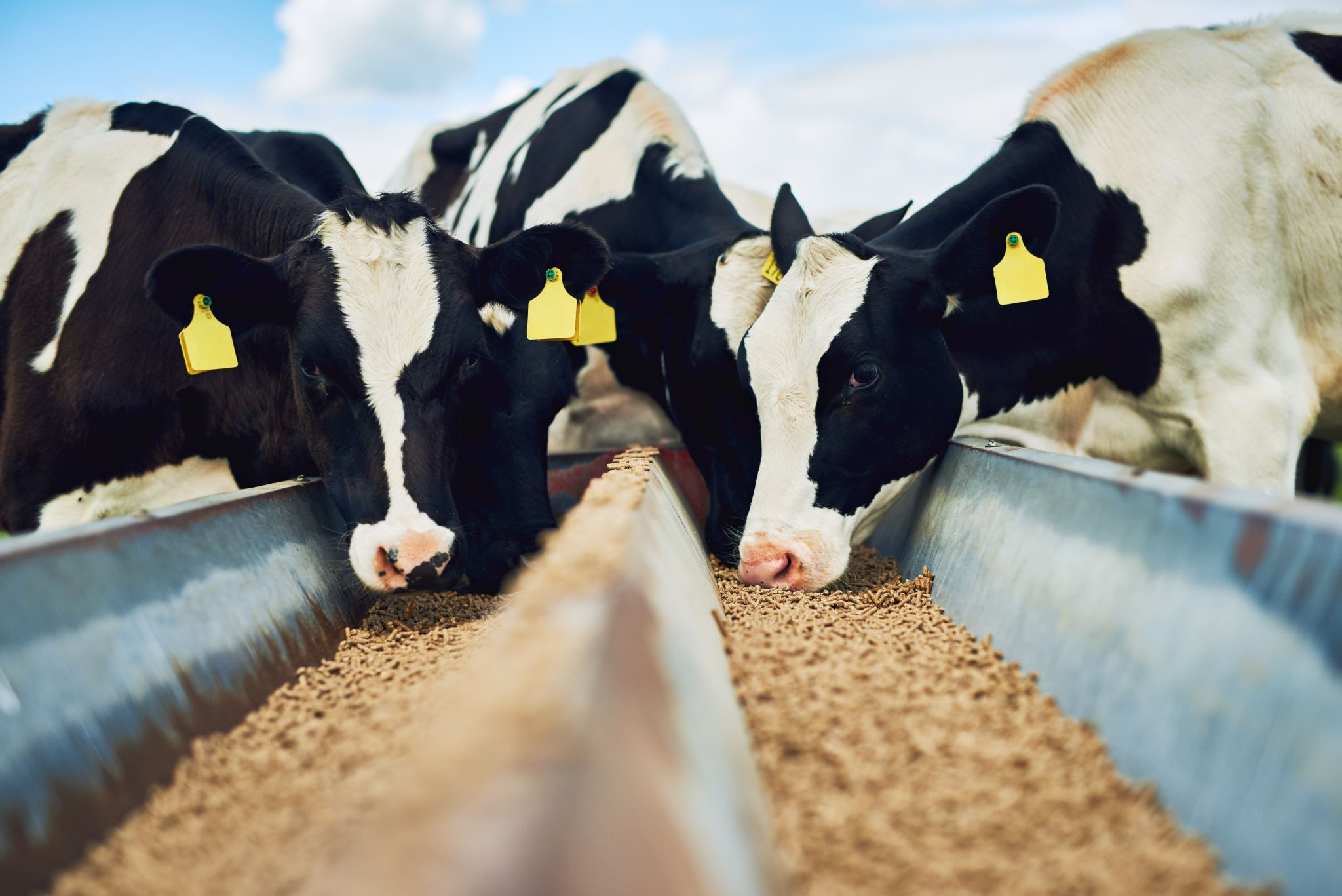 picture of cows eating grain from trough